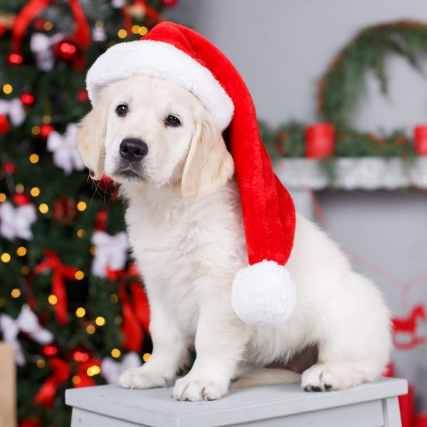 What to Consider Before Getting a Dog for Christmas